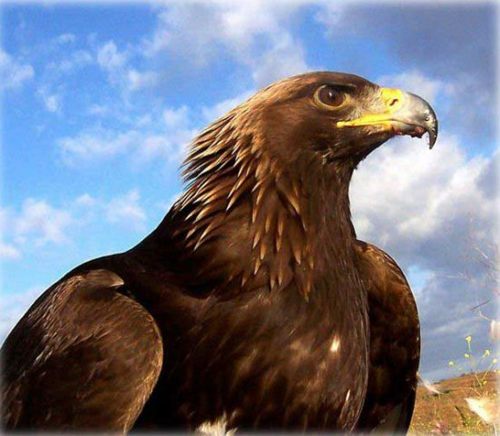 phoca_thumb_l_golden-eagle_09.jpg