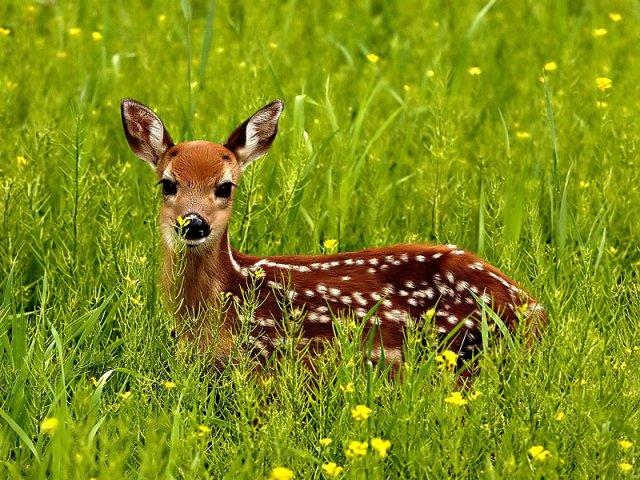 phoca_thumb_l_01_deer.jpg