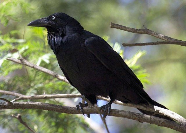 phoca_thumb_l_05_raven.jpg
