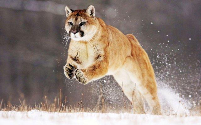 phoca_thumb_l_10_cougar.jpg